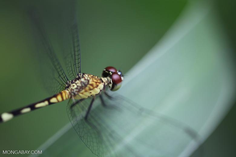 Red-eyed skimmer (family Libellulidae) [brazil_0995]