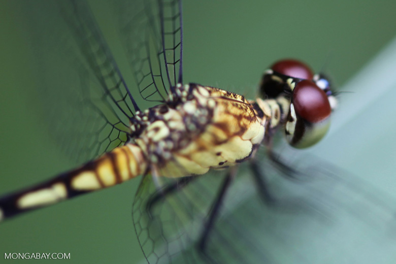Red-eyed skimmer (family Libellulidae) [brazil_0996]