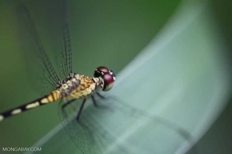 Red-eyed skimmer (family Libellulidae) [brazil_0997]