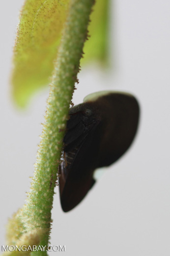 Darth vader insect (Treehopper, Family Membracidae)