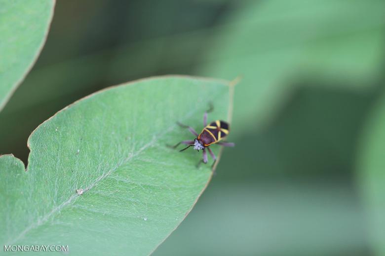 Shield bug [brazil_1021]