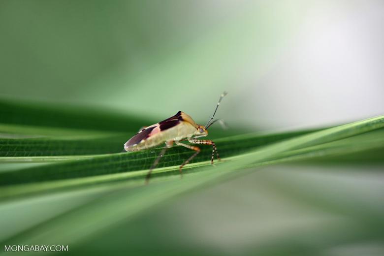 Shield bug [brazil_1043]