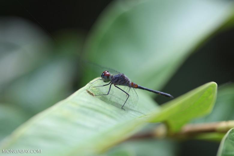 Maroon-eyed skimmer (family Libellulidae) [brazil_1066]