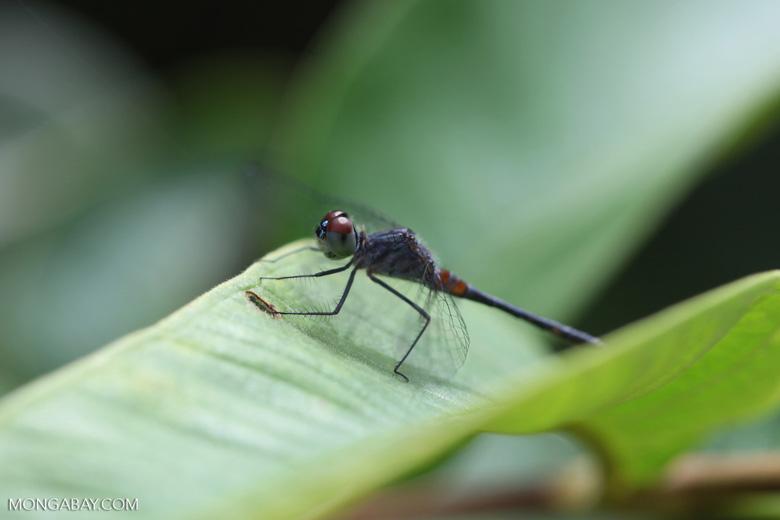 Maroon-eyed skimmer (family Libellulidae)