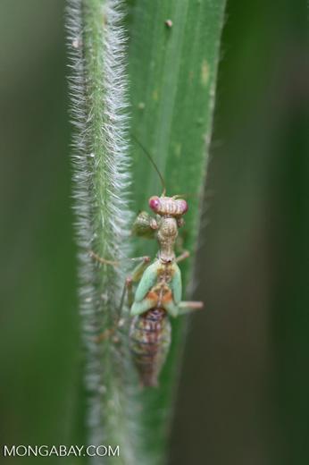 Green praying mantis with red eyes [brazil_1076]