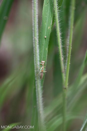 Green praying mantis with red eyes [brazil_1077]