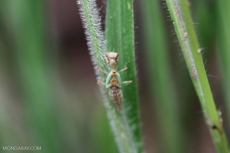 Green praying mantis with red eyes [brazil_1084]