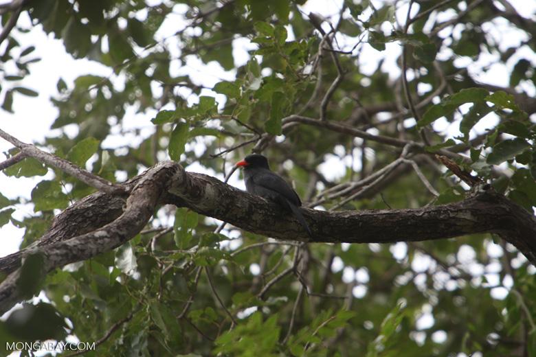 Black-fronted Nunbird (Monasa nigrifrons)