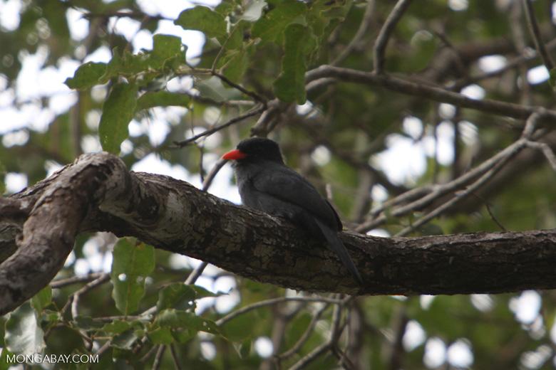 Black-fronted Nunbird (Monasa nigrifrons) [brazil_1086]