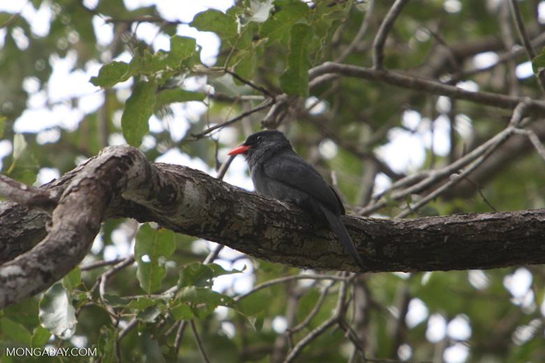 Black-fronted Nunbird (Monasa nigrifrons) [brazil_1087]
