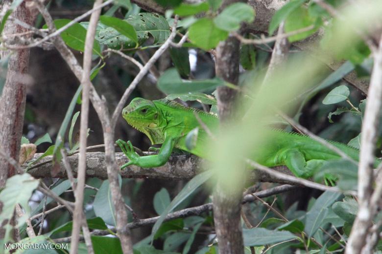 Bright green iguana