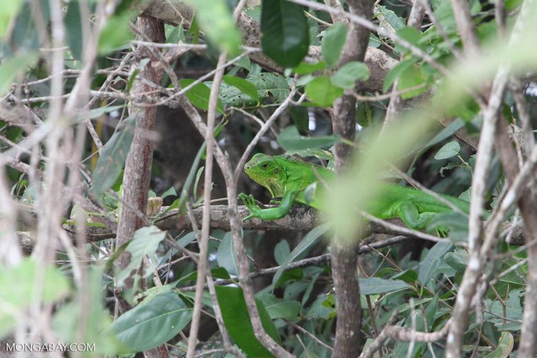Bright green iguana [brazil_1092]