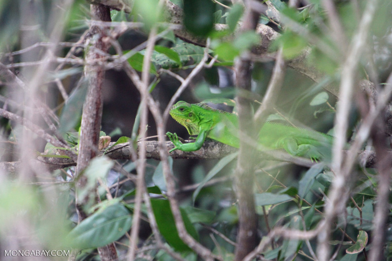 Bright green iguana [brazil_1093]