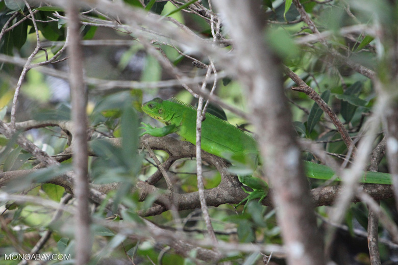 Bright green iguana [brazil_1094]