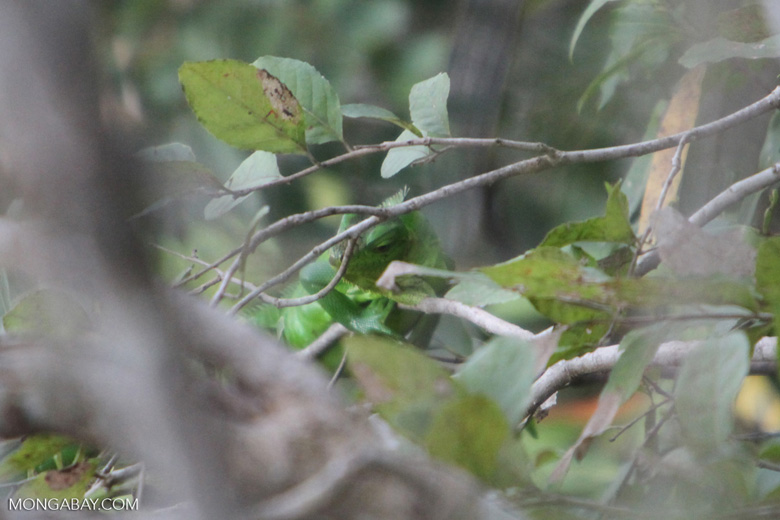 Bright green iguana [brazil_1097]