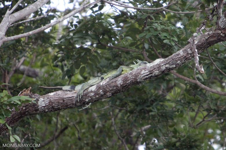 Adult green iguana [brazil_1102]
