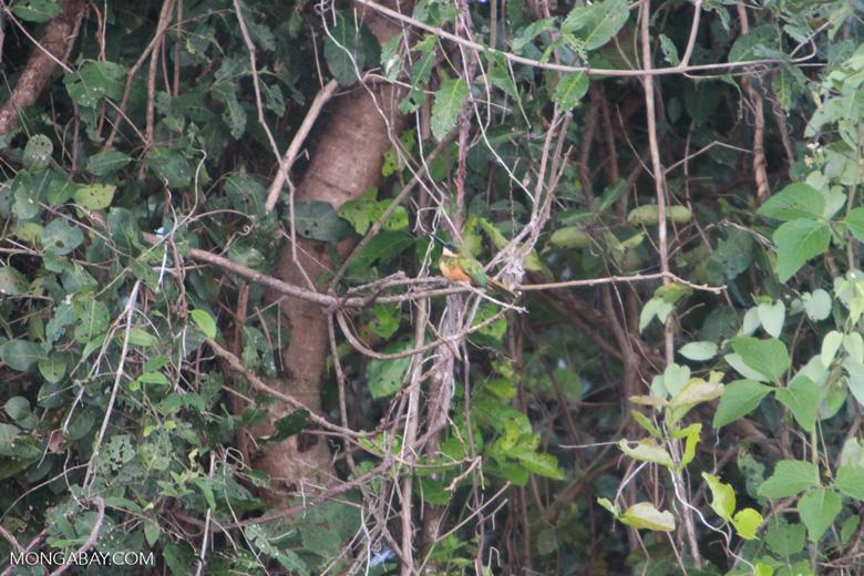 Rufous-tailed Jacamar, Galbula ruficauda [brazil_1114]