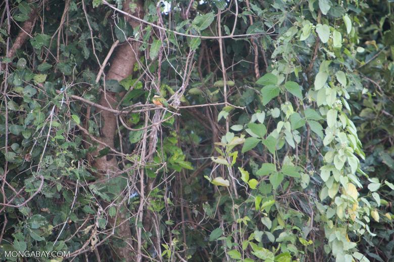 Rufous-tailed Jacamar, Galbula ruficauda [brazil_1115]