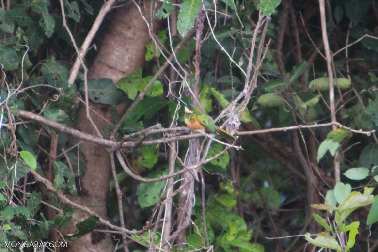 Rufous-tailed Jacamar, Galbula ruficauda [brazil_1117]