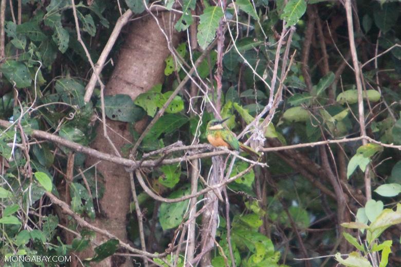 Rufous-tailed Jacamar, Galbula ruficauda [brazil_1118]