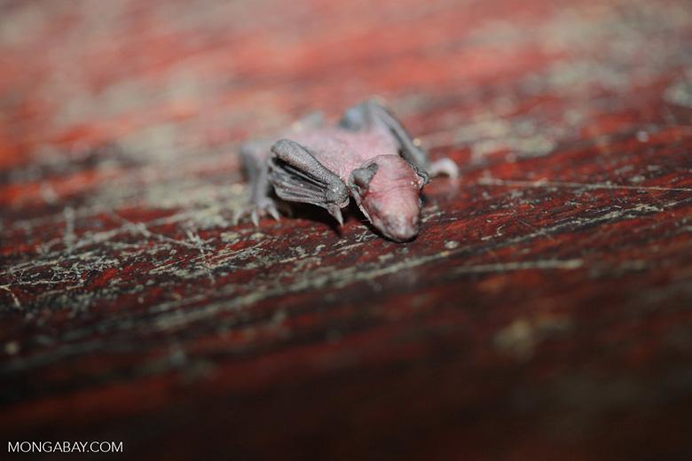 Newborn bat [brazil_1129]