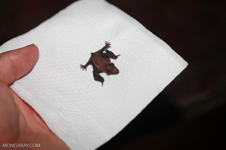 Newborn bat [brazil_1137]