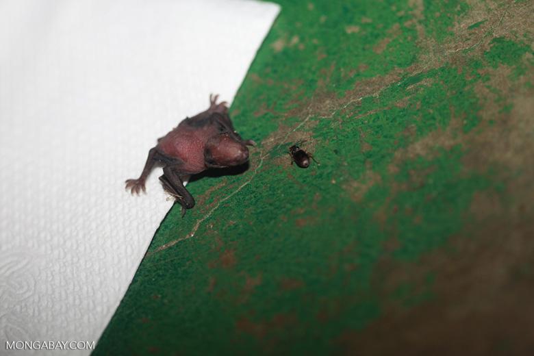 Baby bat [brazil_1138]