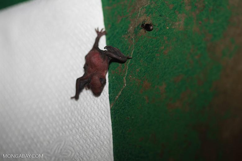 Newborn bat [brazil_1139]