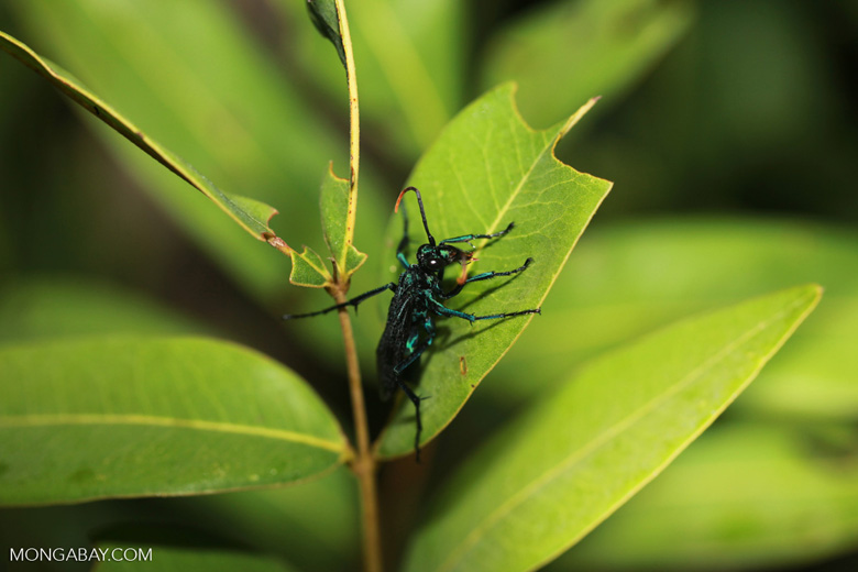 Black Spider Wasp (family Pompilidae) with blue leg segments and orange antenna tips [brazil_1143]