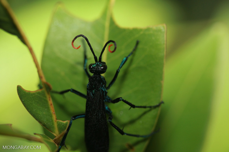 Black Spider Wasp (family Pompilidae) with blue leg segments and orange antenna tips