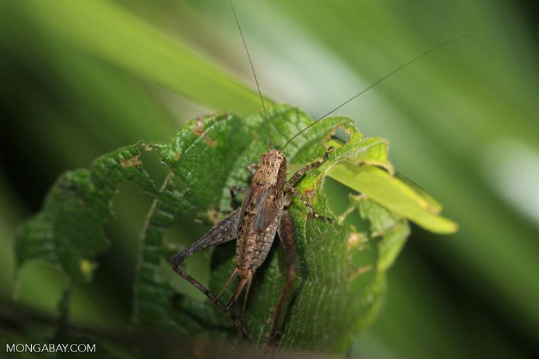 Brown cricket [brazil_1151]