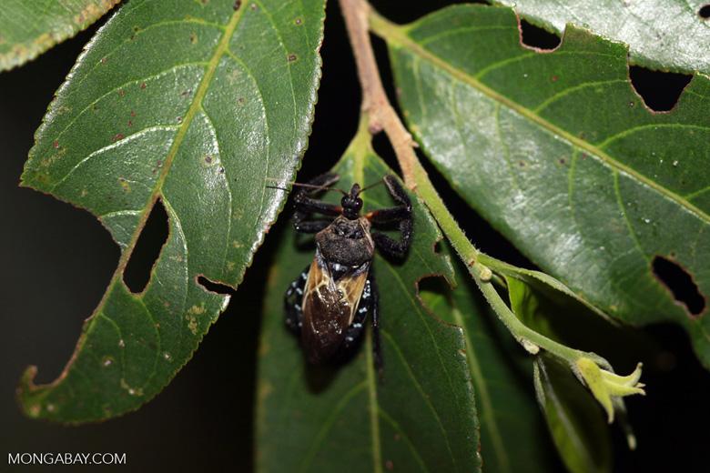 Black Assassin Bug, family Reduviidae