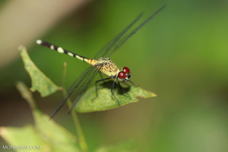 Red-eyed skimmer (family Libellulidae) [brazil_1163]