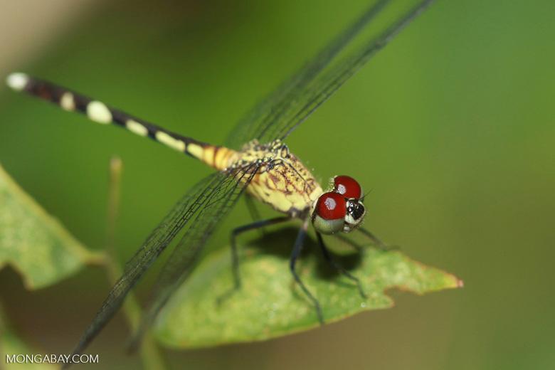 Red-eyed skimmer (family Libellulidae) [brazil_1164]