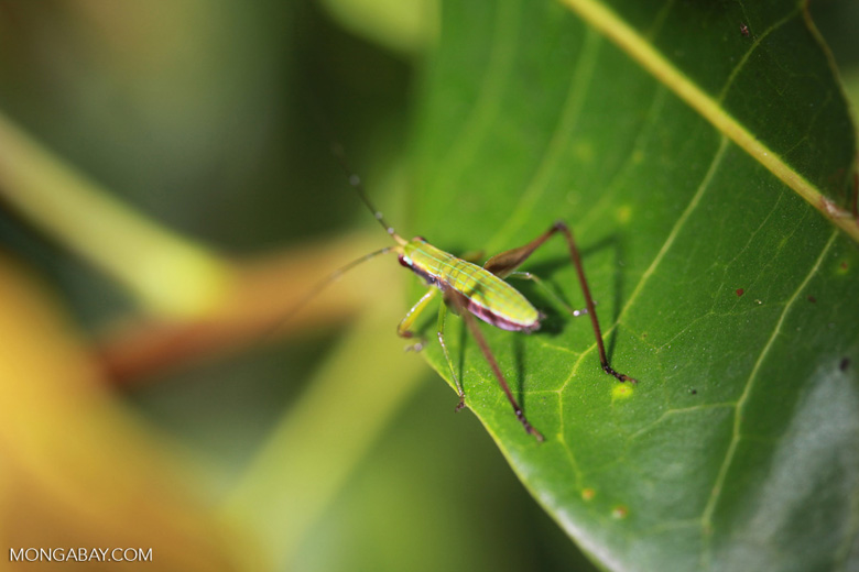 Green and brown cricket