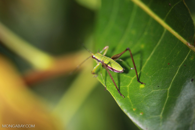 Green and brown cricket [brazil_1172]