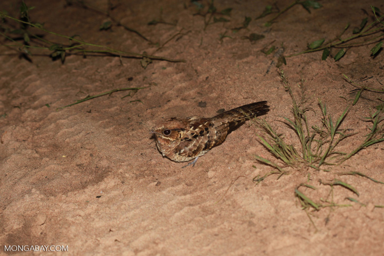 Nightjar or Pauraque [brazil_1183]