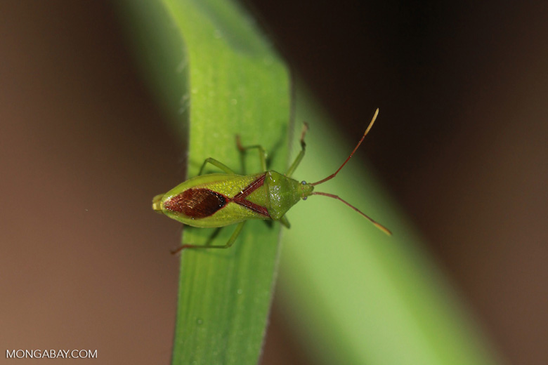 Green and brown shield bug