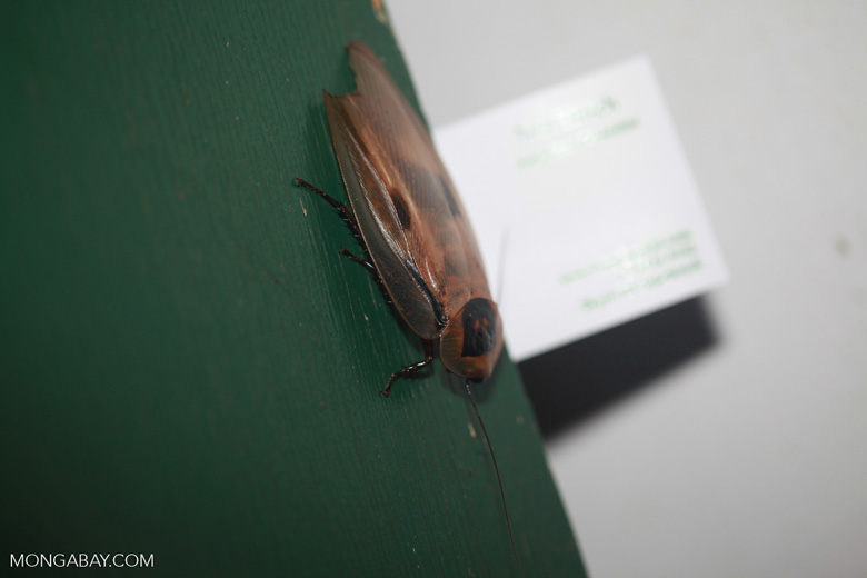 Giant cockroach with business card for scale