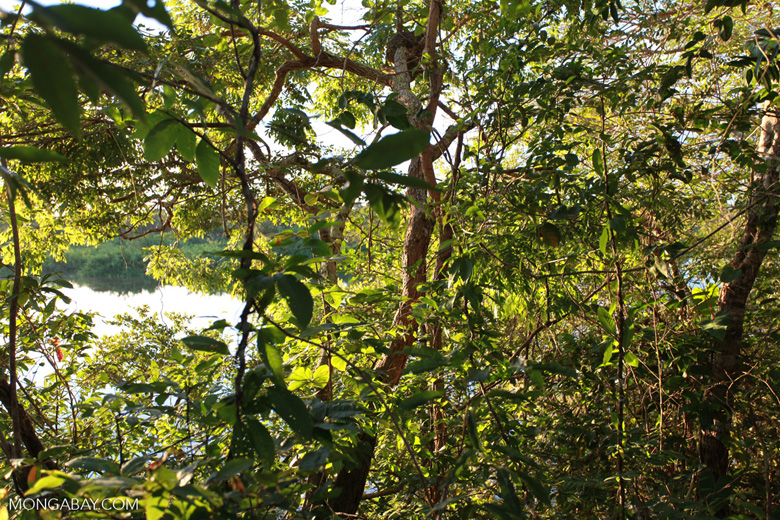 Riparian forest vegetation along the Rio das Mortes