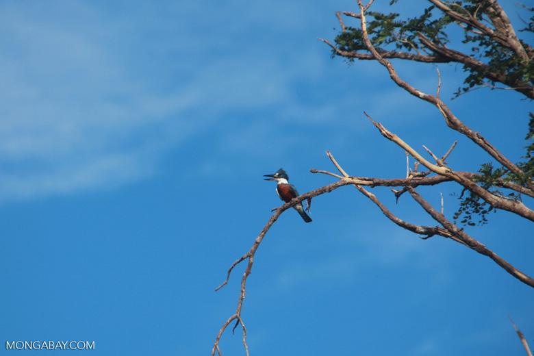 Amazon Kingfisher, Chloroceryle amazona [brazil_1215]