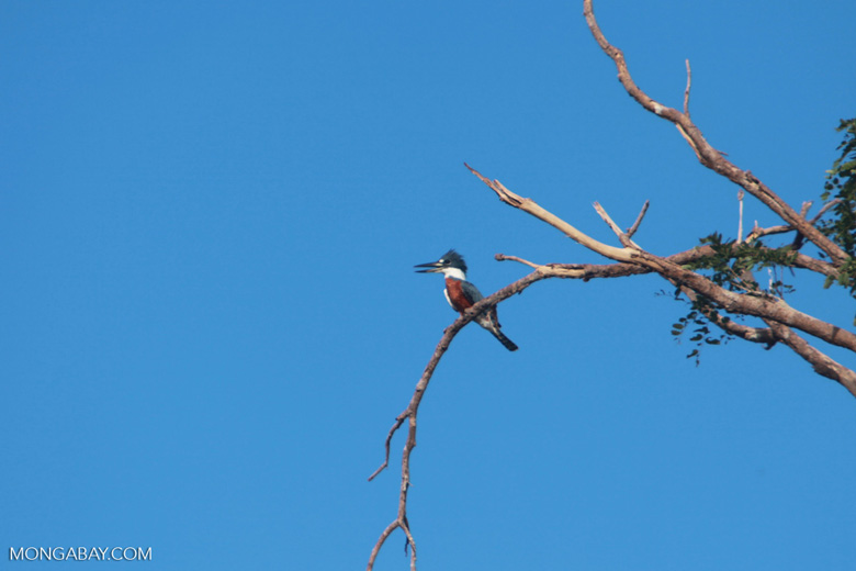 Amazon Kingfisher, Chloroceryle amazona