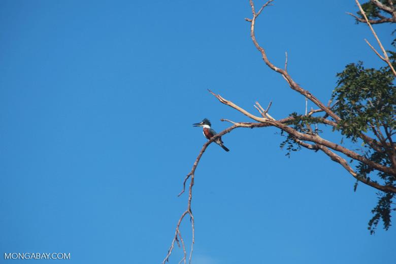 Amazon Kingfisher, Chloroceryle amazona [brazil_1217]