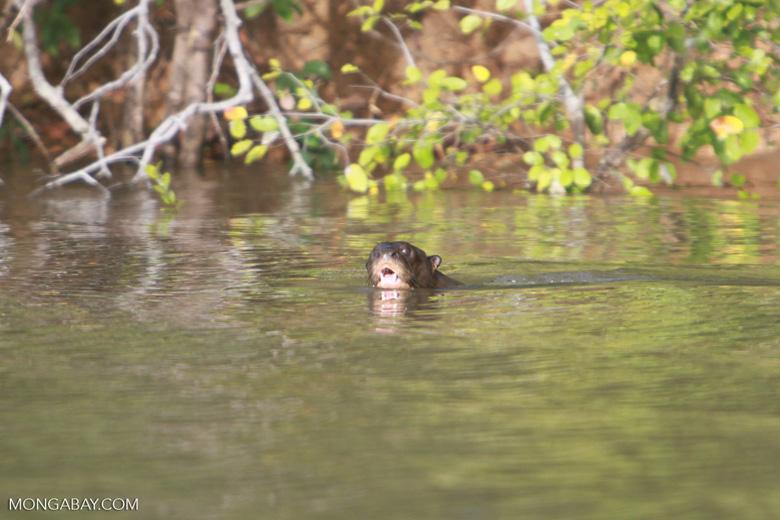 Giant Amazon River Otter [brazil_1218]