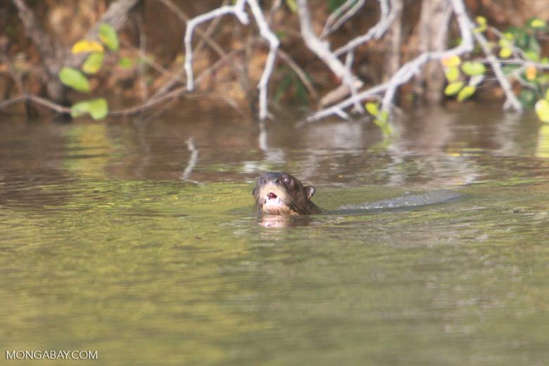 Giant Amazon River Otter [brazil_1219]
