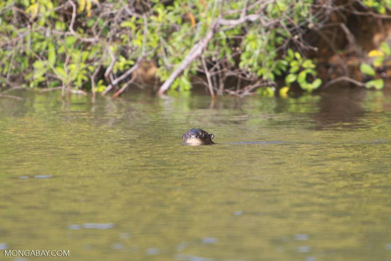 Giant Amazon River Otter [brazil_1222]