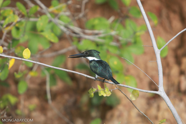 Amazon Kingfisher, Chloroceryle amazona [brazil_1223]