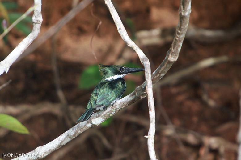 Amazon Kingfisher, Chloroceryle amazona [brazil_1226]