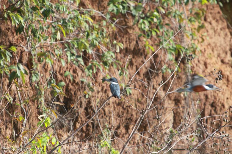 Amazon Kingfisher, Chloroceryle amazona [brazil_1227]