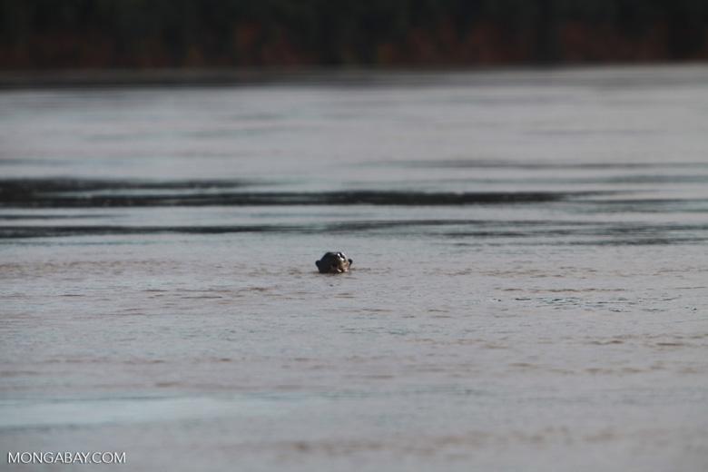 Giant Amazon River Otter [brazil_1228]